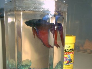 Figher, the beta fish